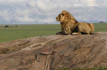A relaxing lion