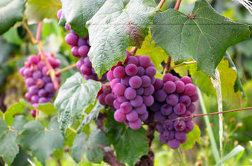 grapes hanging