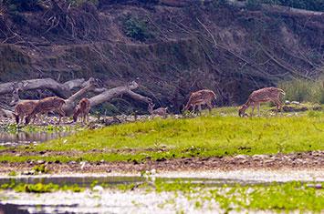Deers in Bardia National Park Nepal