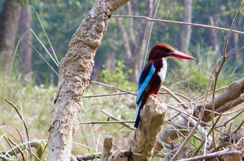 Blue and brown colored bird on a branch